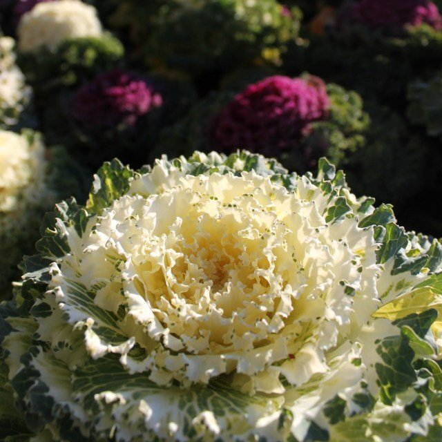 Flor de Suiza con forma de repollo