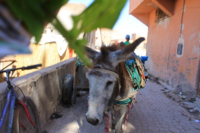 Burro para trabajar en las curtidurías de Marrakech
