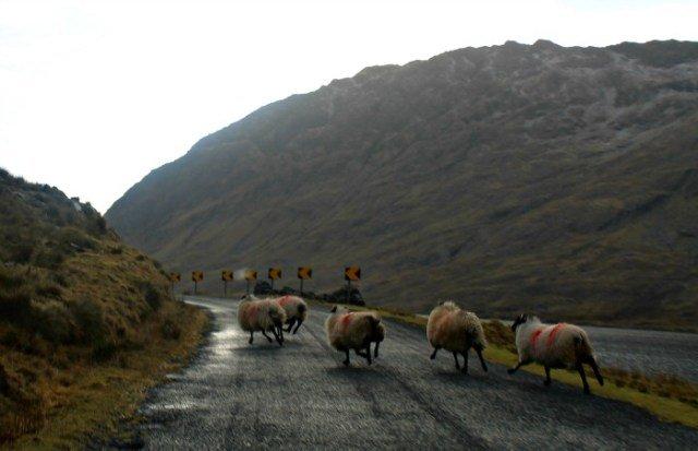 Ovejas corriendo por la carretera de Irlanda