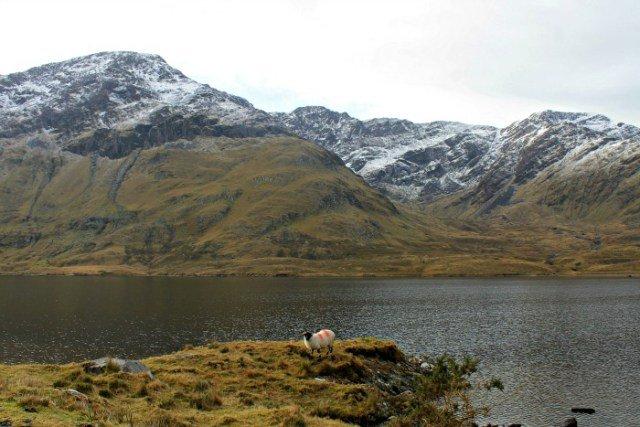 Una oveja en el lago de Irlanda