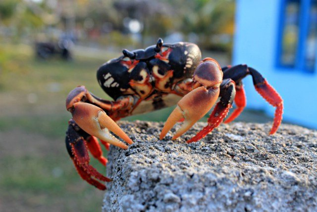Cangrejo negro chulo en Cuba