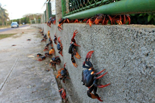 Invasión de cangrejos en Cuba
