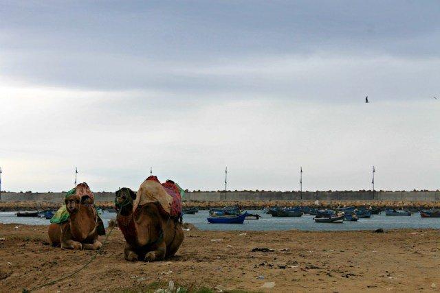Camellos en la playa de Asilah