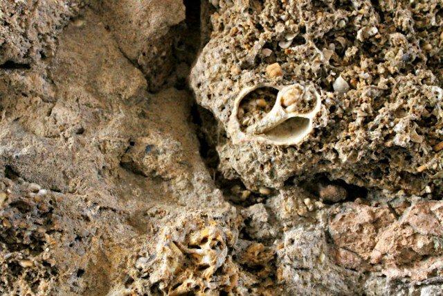 Conchas incrustadas en la piedra ostionera