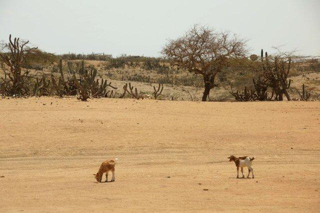 Cabras pastando en la Guajira