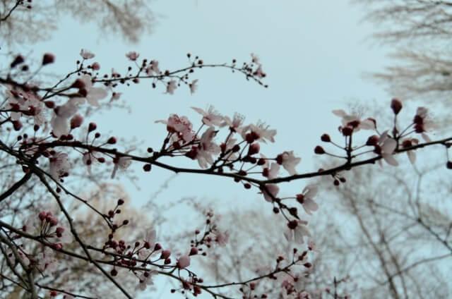 Almendro en flor en La Sagra