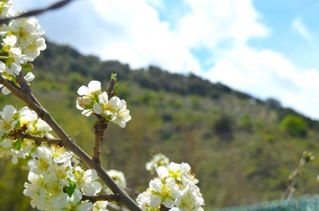 Flores de cerezo en Frailes