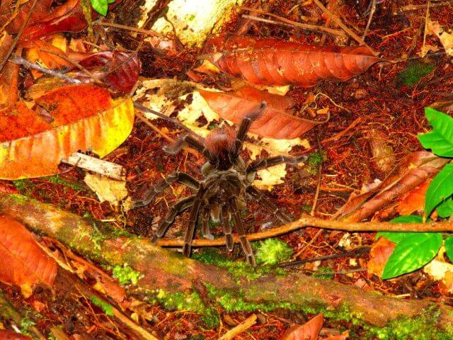 Tarántulas y otros animales del Amazonas