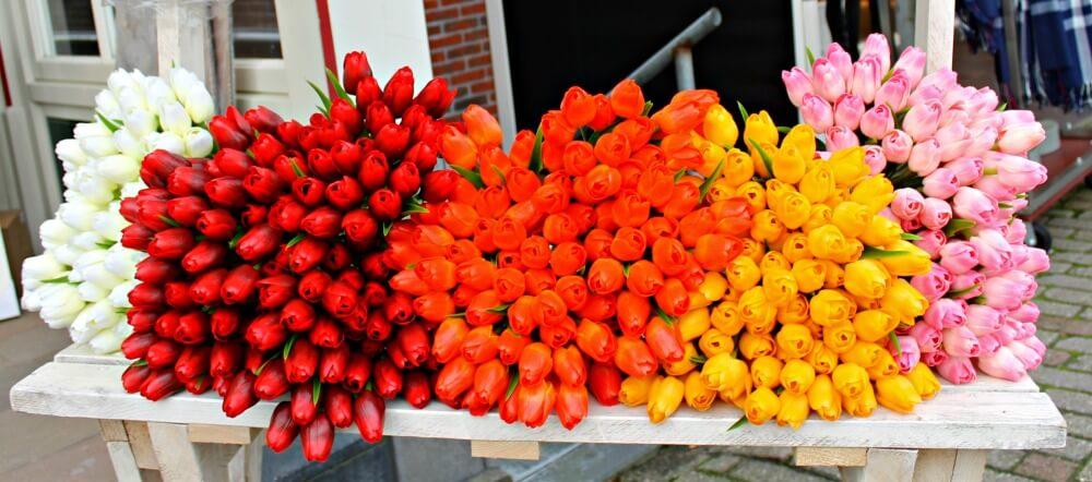 Tulipanes en Volendam