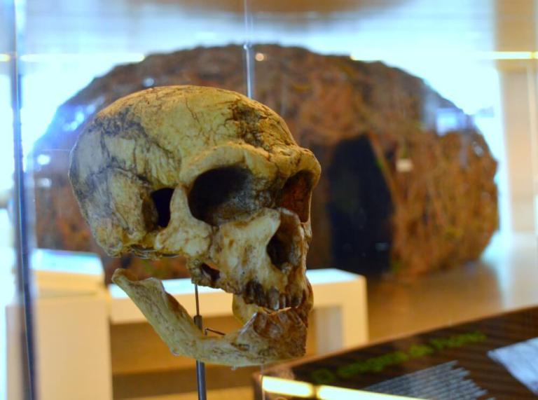 Cráneo en el Museo de la Evolución de Burgos