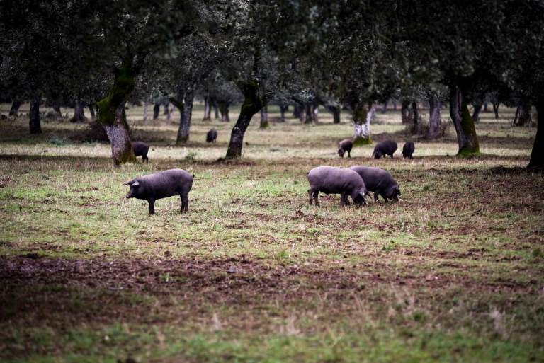 Cerdos en la dehesa extremeña