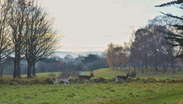 Ciervos en el Parque Phoenix de Dublín