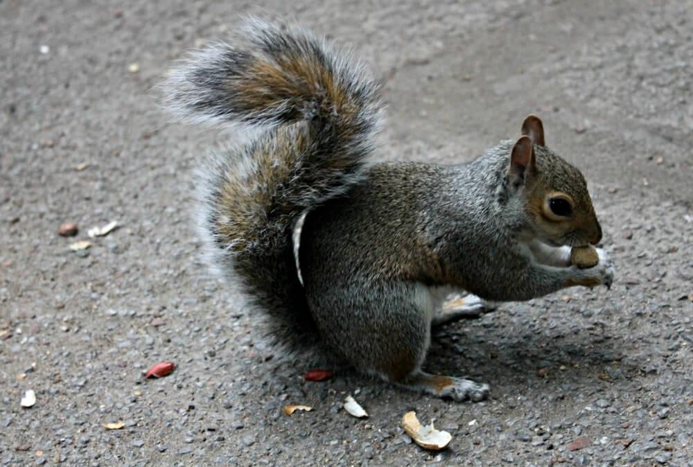 Las divertidas ardillas de Hyde Park - Qué ver en Londres
