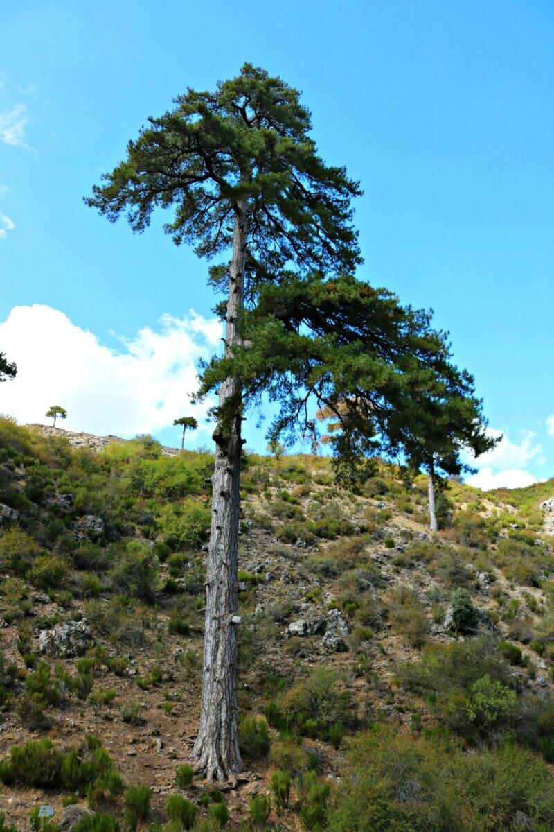 Pino Galapán, el pino más antiguo del Parque de Cazorla, Segura y las Villas