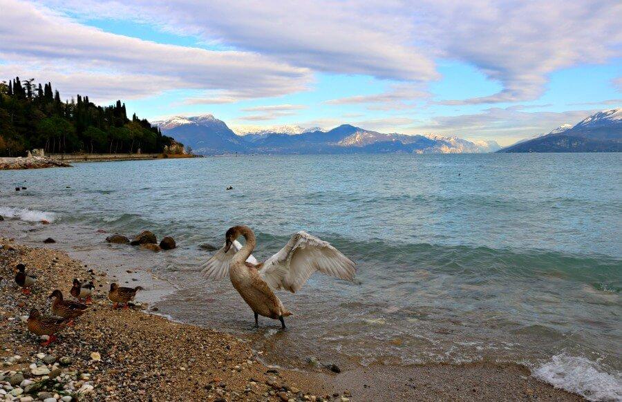 Cisne y patos en el Lago di Garda
