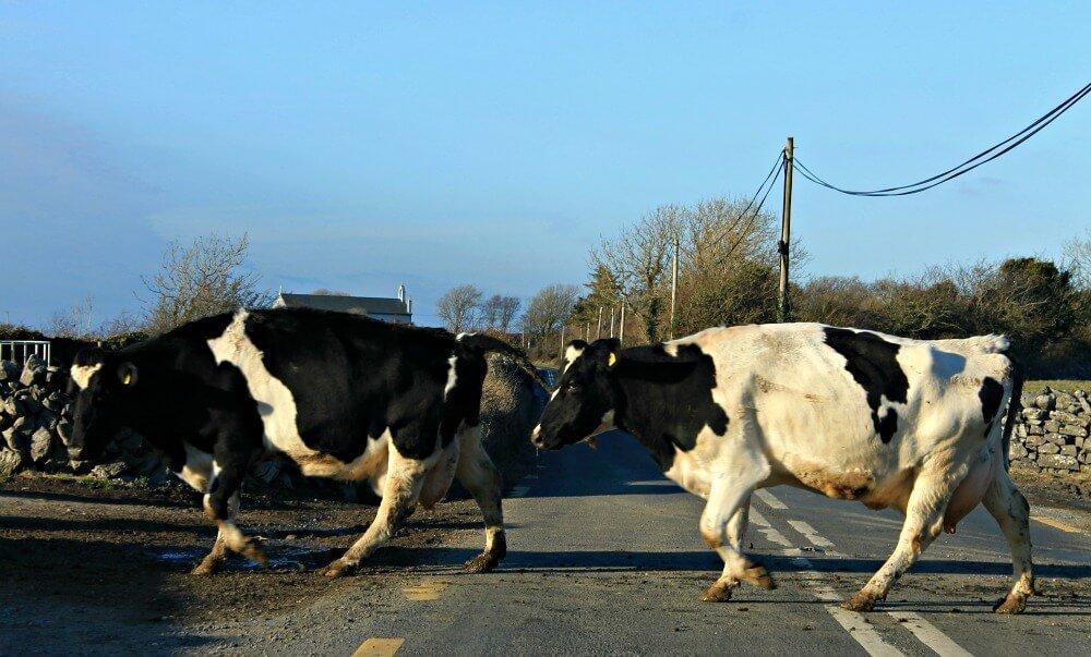 Vacas irlandesas en nuestro camino
