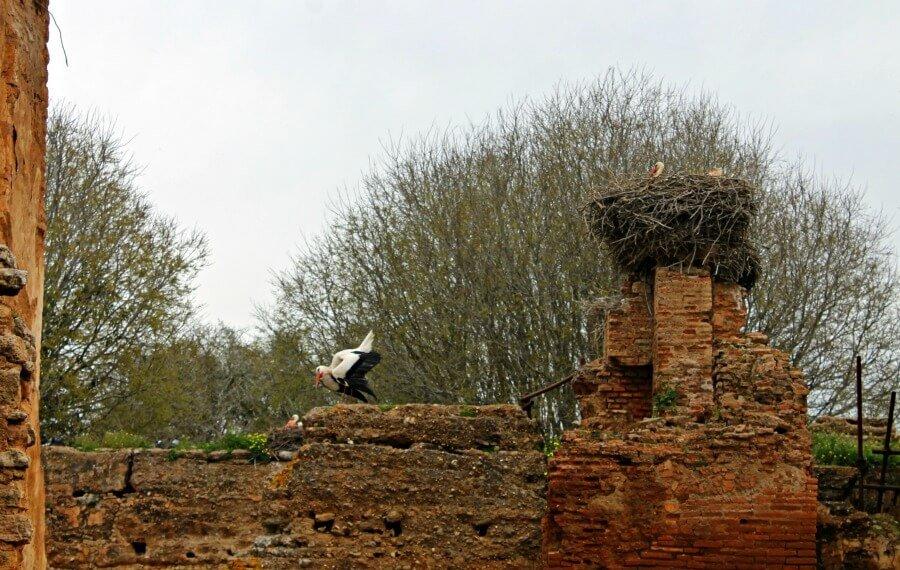 Cigüeñas en el Chellah de Rabat