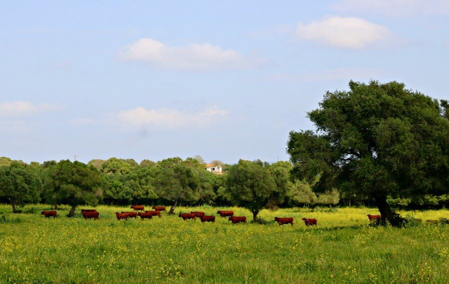 Explotación ecológica de Vacas Retintas en Medina Sidonia