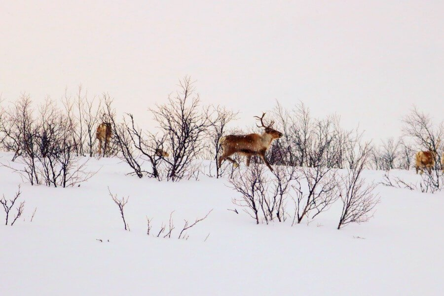 Fauna ártica en Noruega
