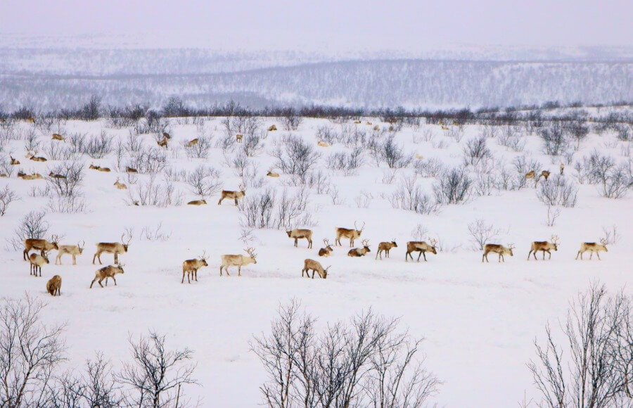 Renos salvajes en el norte de Noruega