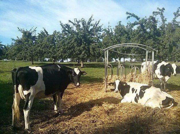 Vacas francesas posando