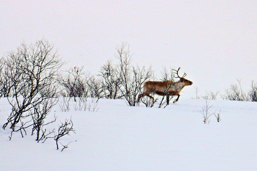 El reno, fuente de ingresos principal de los Sami