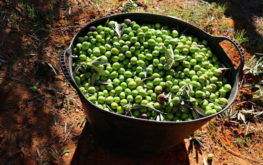 Recogida de la aceituna en una almazara - Sevilla en otoño