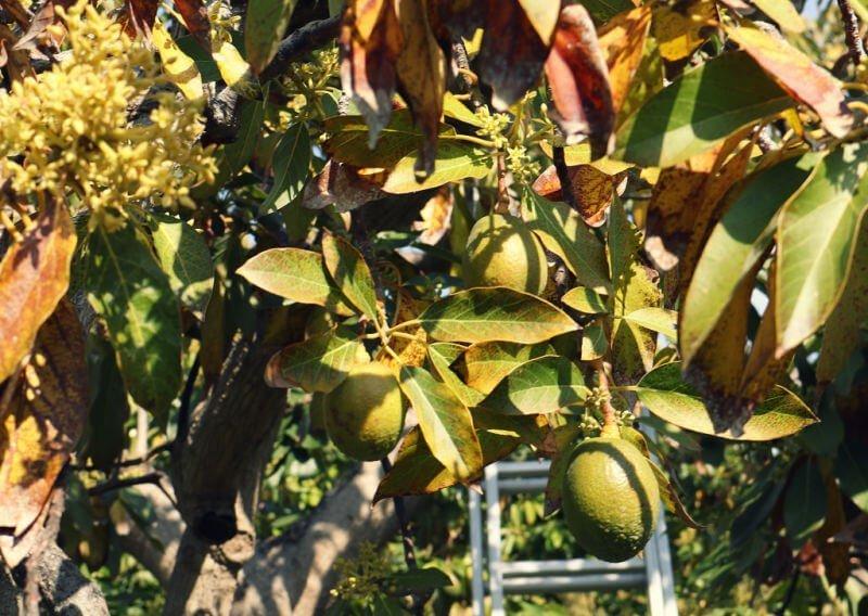 Finca ecológica de frutas tropicales en Salobreña