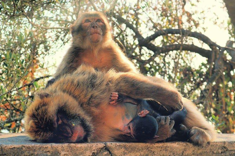 Los monos de Gibraltar en libertad