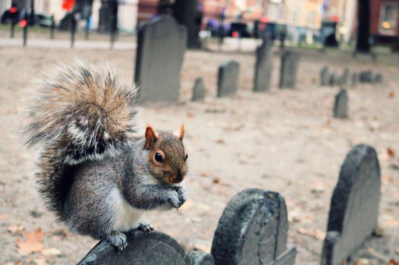 Ardilla en el cementerio de Boston
